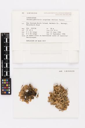 Pseudocyphellaria carpoloma, AK185020, © Auckland Museum CC BY