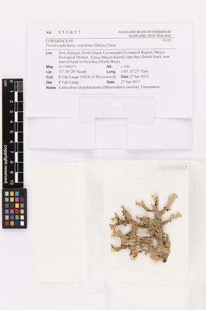 Pseudocyphellaria carpoloma, AK331837, © Auckland Museum CC BY