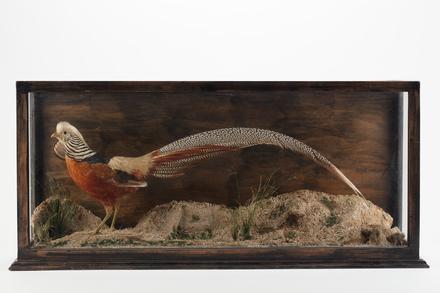 Chrysolophus pictus, LB13099, © Auckland Museum CC BY