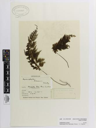 Hymenophyllum demissum, AK215058, N/A
