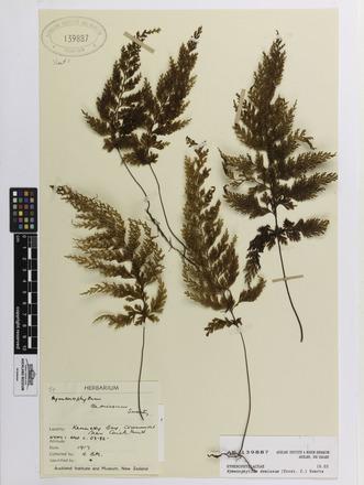 Hymenophyllum demissum, AK139887, N/A