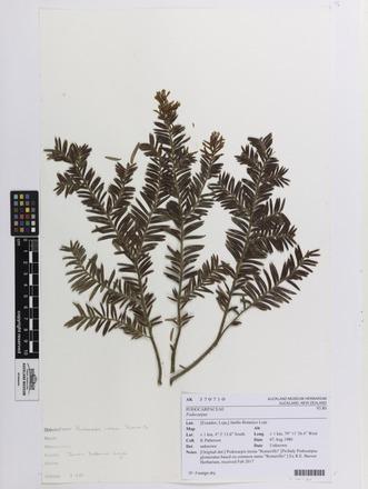 Podocarpus, AK370710, N/A
