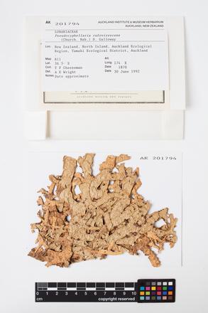 Pseudocyphellaria rufovirescens, AK201794, © Auckland Museum CC BY