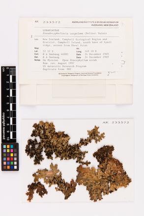 Pseudocyphellaria carpoloma, AK233572, © Auckland Museum CC BY
